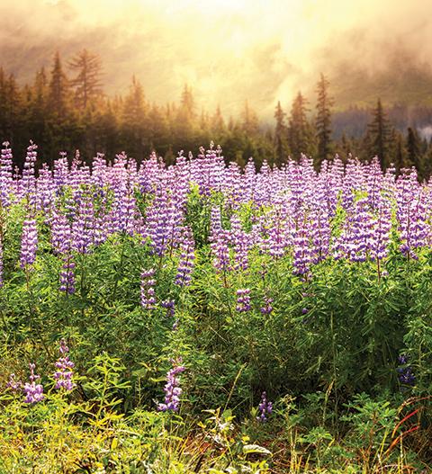 WEB bigstock-Flower-meadow-in-Alaska-41480254